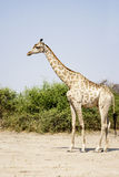 Lonely Giraffe on the Sand Stock Images