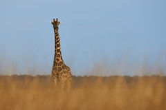 Lonely giraffe. In the savanna of Etosha National Park Royalty Free Stock Image