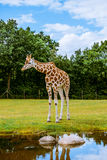 Lonely giraffe Stock Photography