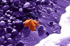 Lonely gold leaf of a maple on a violet background of damp stone Royalty Free Stock Images