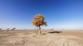 Lonely golden populus euphratica tree in desert on the blue sky background, Ejina in the autumn. Landscape of the Populus euphratica scenic area in Ejina stock image