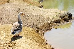 Lonely goose on the bank Royalty Free Stock Photo