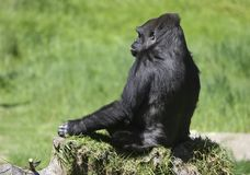 Lonely Gorilla Stock Photo
