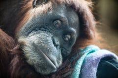 Gorilla. A lonely gorilla thinking something stock photography