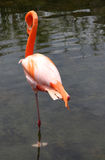 Lonely graceful American Flamingo Stock Images