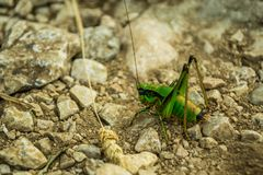 A lonely grasshopper stock images
