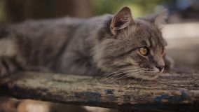 Lonely gray cat with long white whiskers and sad look is lies on the bench. Fluffy cat. Cat portrait, no people around. Lonely gray cat with long white whiskers stock footage
