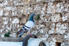 A lonely gray dove sits on the roof of a car. On a stone wall background stock images