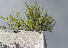 Lonely green bush on the concrete wall Royalty Free Stock Image