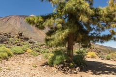 Lonely Green Canarian pine tree surrounded by gigantic wild anise sprouts and Mountains landscape. Peak of volcano Teide at sunny royalty free stock photos