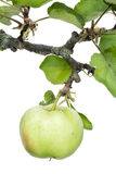 Lonely green ecological apple hangs on a branch Royalty Free Stock Photo