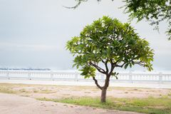 Lonely green frangipani tree, plumeria tree near the beach. Royalty Free Stock Photography