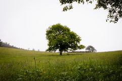 Lonely green oak tree in the field royalty free stock photography