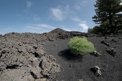 Lonely green plant colonize volcanic ash of cinder cone in Etna Park,. Sicily stock photo