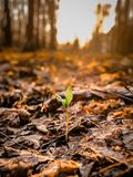 Lonely green sprout among the fallen leaves at sunset stock photography