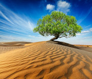 Lonely green tree in desert dunes Stock Photos