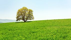 Lonely green tree in farm field Royalty Free Stock Images