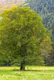 Lonely green tree  meadow Royalty Free Stock Photos