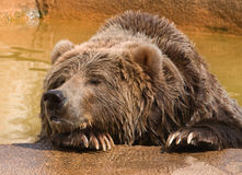 Lonely Grizzly Bear. Photograph of a Grizzly Bear resting his head on his paw after taking a swim at a midwestern zoo royalty free stock image
