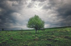 Lonely growing apple tree on a background of dark storm clouds. royalty free stock photography