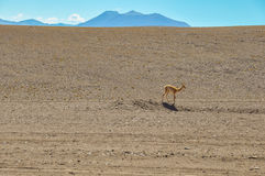Lonely Guanaco in the Desert of San Pedro de Atacama, Chile Stock Images