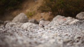 Lonely gull wanders along a stony beach amid trees and bushes. Lonely gull seeks food and wanders along a rocky beach amid trees and bushes stock video
