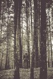 A lonely guy in a pine forest in the autumn time. Monochrome Royalty Free Stock Images