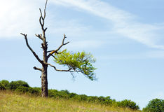 Lonely half dried tree. Lonely half dried beech tree near the forest stock photos