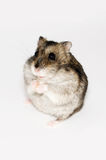 Lonely hamster Stock Photography