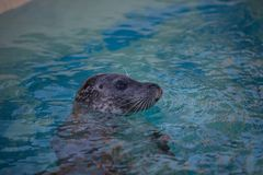 A lonely harbor seal stock photography