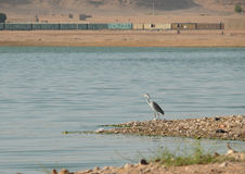 Lonely heron on the banks of the Nile. Stock Images