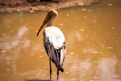 He lonely heron drinks from the waterhole. royalty free stock images