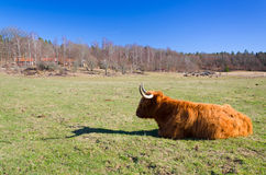 Lonely highland cattle cow Royalty Free Stock Photo