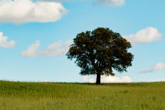 Lonely holm oak in the meadow Stock Photography