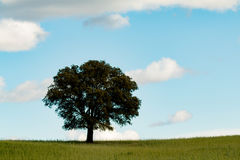 Lonely holm oak in the meadow Royalty Free Stock Photo
