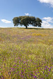 Lonely holm oak. Quercus ilex, in the fields of Extremadura, Spain Royalty Free Stock Photography