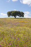 Lonely holm oak. Quercus ilex, in the fields of Extremadura, Spain Stock Image