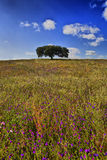 Lonely holm oak Stock Images