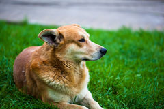 Lonely homeless dog Royalty Free Stock Images