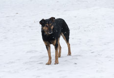 Lonely homeless dog wandering in the snow Stock Photo