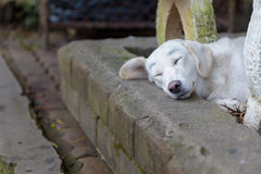 Lonely homeless white dog sleeping on path. Lonely homeless white dog sleeping on the path Royalty Free Stock Photography