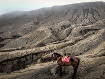 Lonely Horse Around Bromo Mountain Royalty Free Stock Photo