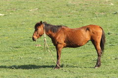 Lonely horse Royalty Free Stock Photography