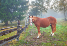 Lonely horse in the foggy forest Stock Photos