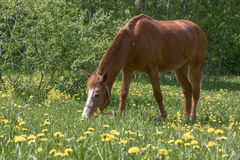 Lonely horse grazing stock image