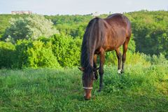 Lonely horse grazing on a spring pasture Stock Photos