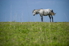 Lonely horse on meadow Royalty Free Stock Image