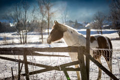 Lonely horse pasturing on outdoor paddock at winter Royalty Free Stock Images