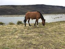 Lonely horse in Patagonia prairies. stock image