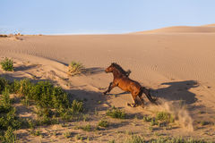Lonely horse running gallop stock photo